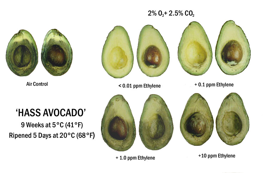 Hass Avacado sliced open showing gas progression